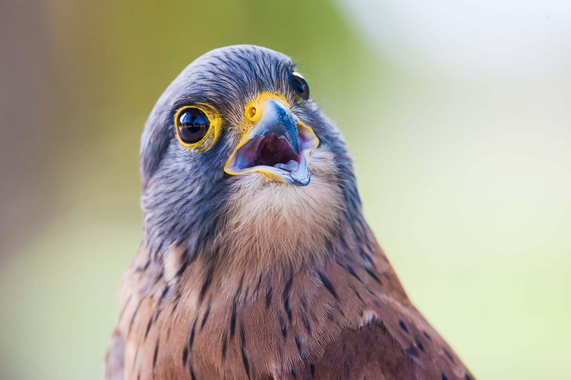 brown bird with open mouth
