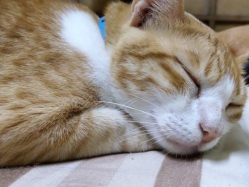 Fotobanka sbezplatnými fotkami na tému pokojne spiace mačka