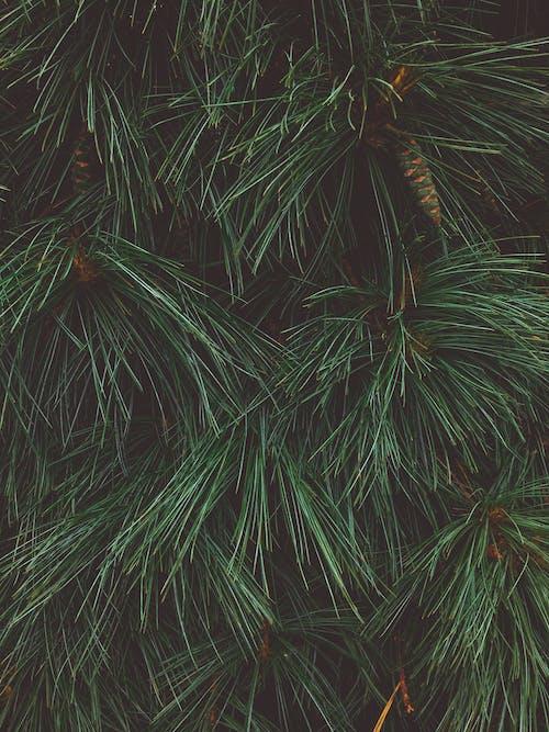 カスビ, コーン, マツ円錐形, 明るいの無料の写真素材