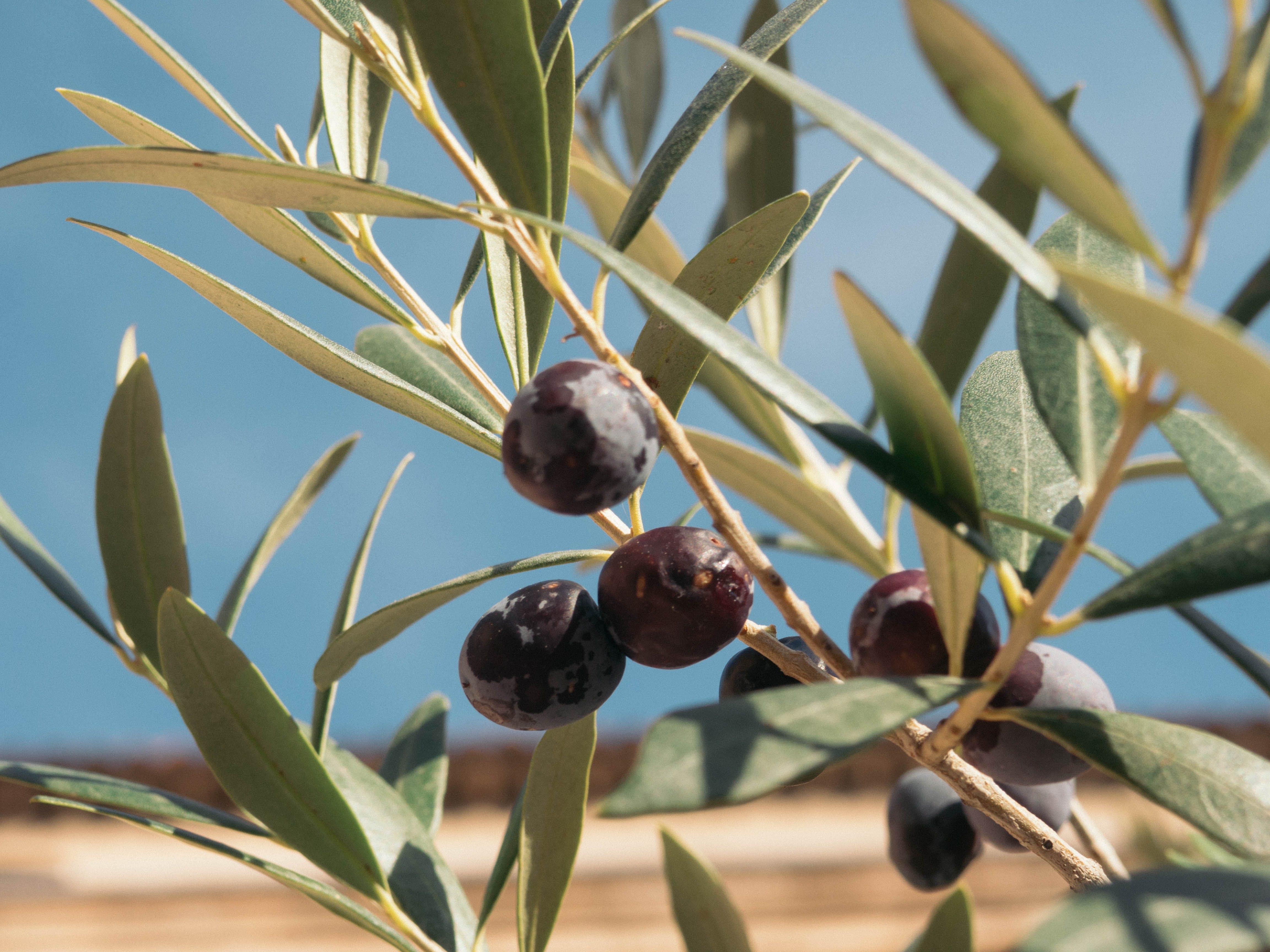 Free stock photo of background, black olives, blue sky, nature