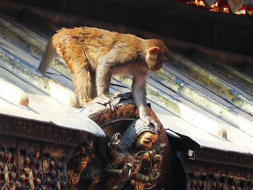 モンキー, 寺の無料の写真素材
