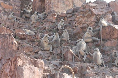 Free stock photo of monkey mountain, monkeys