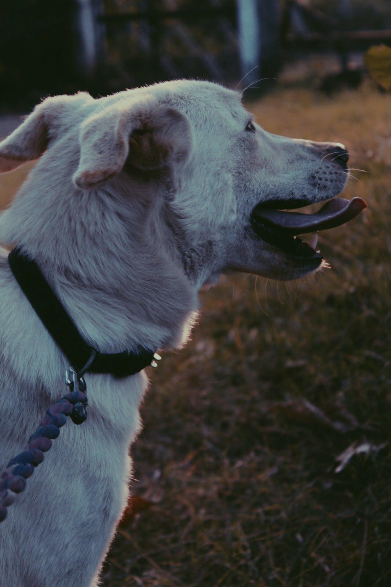 Free stock photo of labrador, vsco, baby dog