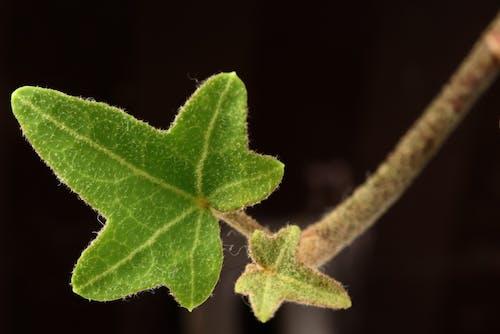 คลังภาพถ่ายฟรี ของ พืช, สีเขียว, แมโคร, ไม้เลื้อย