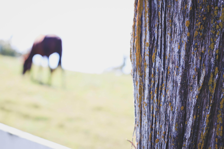 Free stock photo of cedar tree, horse, tree