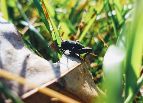 Ilmainen kuvapankkikuva tunnisteilla elämää luonnossa, kriketti, kuiva lehti, lähikuva