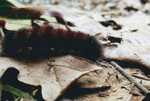 Ilmainen kuvapankkikuva tunnisteilla elämää luonnossa, karvainen toukka, kuivat lehdet, kuoriainen