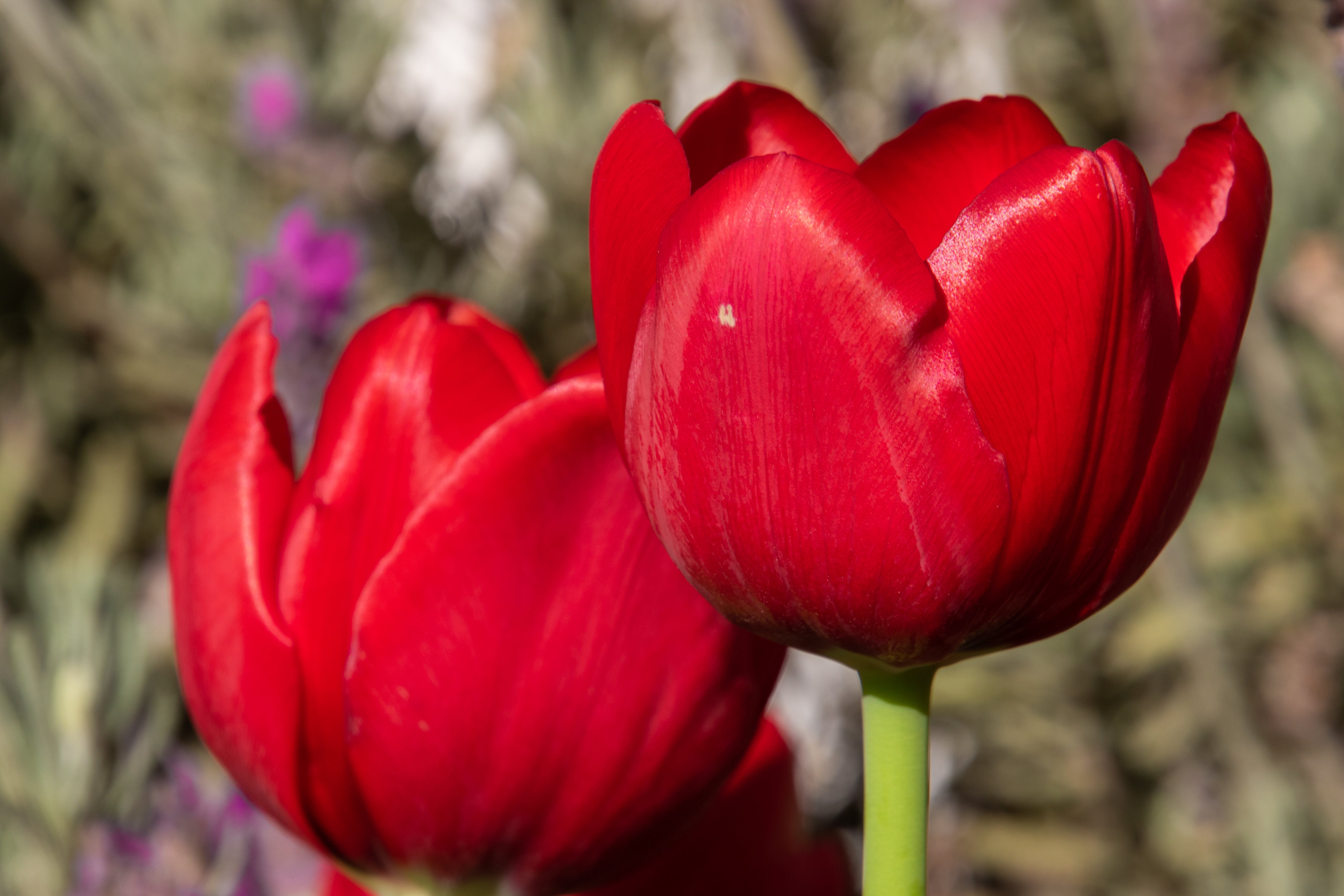 Free stock photo of nature, red, petals, flower