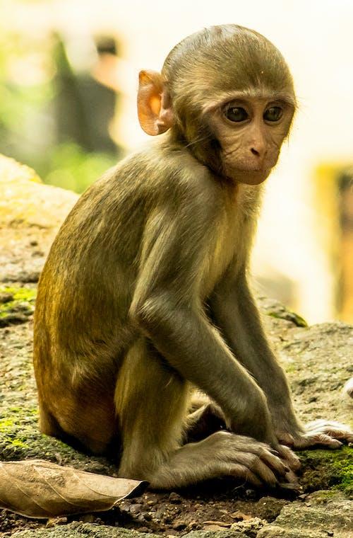 Ingyenes stockfotó bébimajom, néz, qute, ülő majom témában