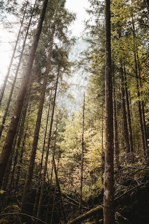 Gratis lagerfoto af baggrund, bjerg, dagslys, fyrretræer