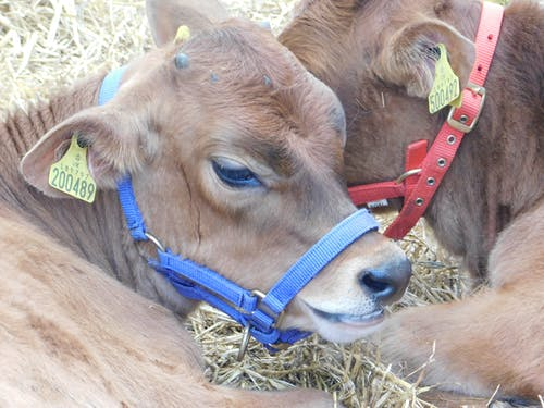 Foto stok gratis pertanian, peternakan, sapi