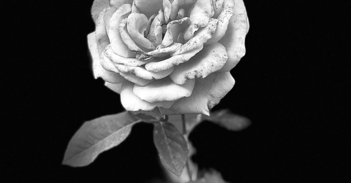 Foto Stok Gratis Tentang Bunga Mawar Potret Abu Abu