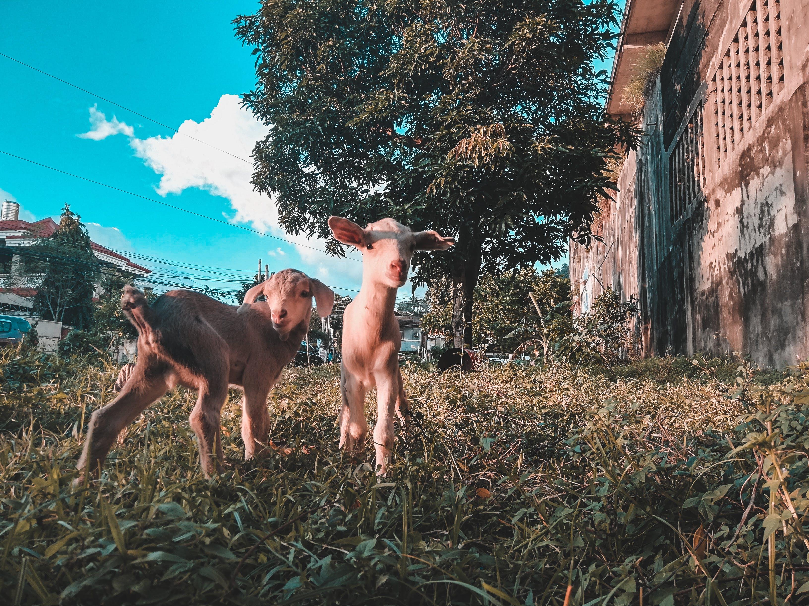 Gratis stockfoto met beest, beesten, boerderij, boerderijdieren