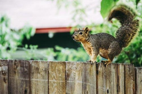 Kostenloses Stock Foto zu eichhörnchen, holzzaun, nagetier, niedlich
