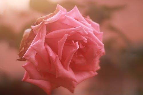 Gratis lagerfoto af lyserøde roser