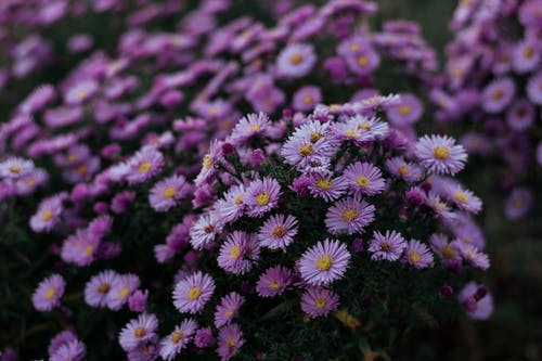 Close-up Photo of Purple Aster Flowers