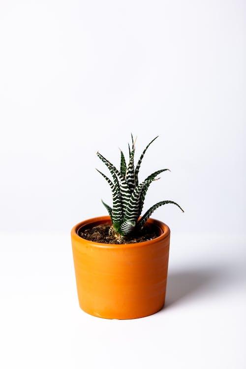 agave, arrière-plan blanc, botanique