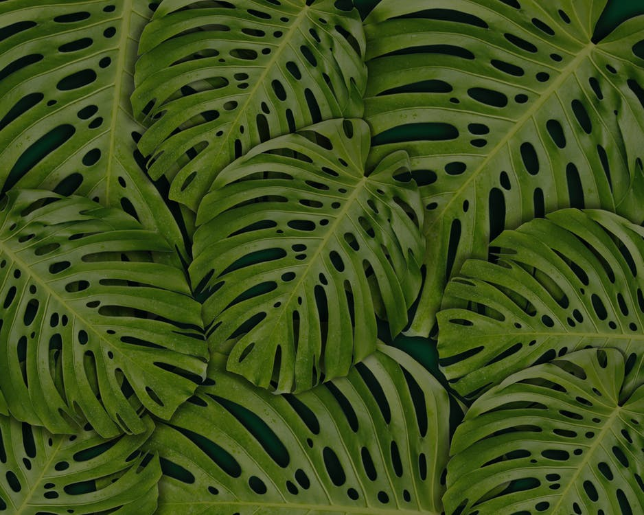 Full Frame Photo of Monstera Leaves