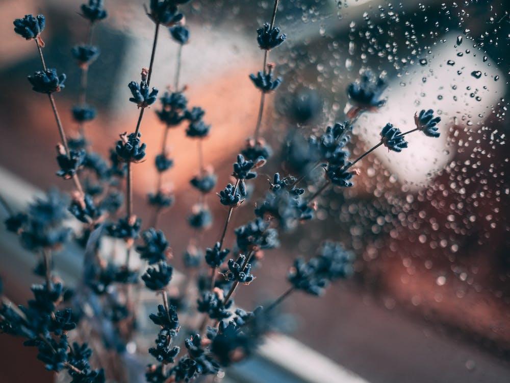 blå, blomst, close-up