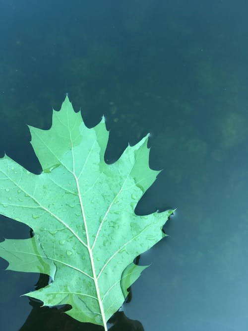 Free stock photo of big leaf, calm waters, glassy water