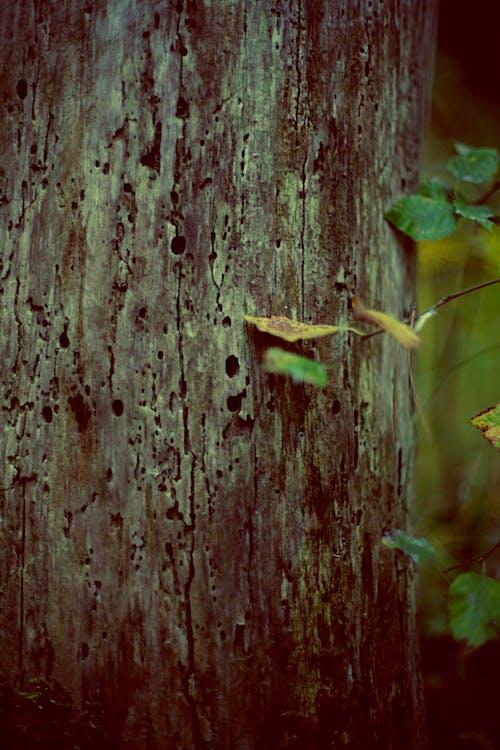 Fotobanka sbezplatnými fotkami na tému detailný záber, hrubý, kmeň, kmeň stromu