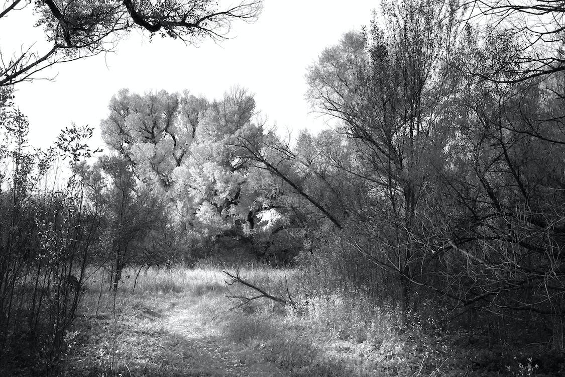 alberi, bianco e nero, erba