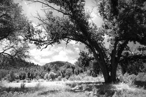 Foto d'estoc gratuïta de arbres, blanc i negre, herba, natura