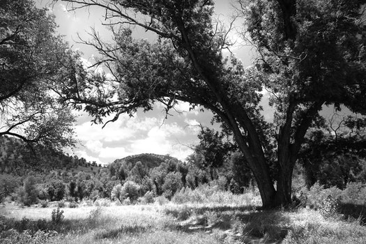 Gray Scale Photography of Green Tree