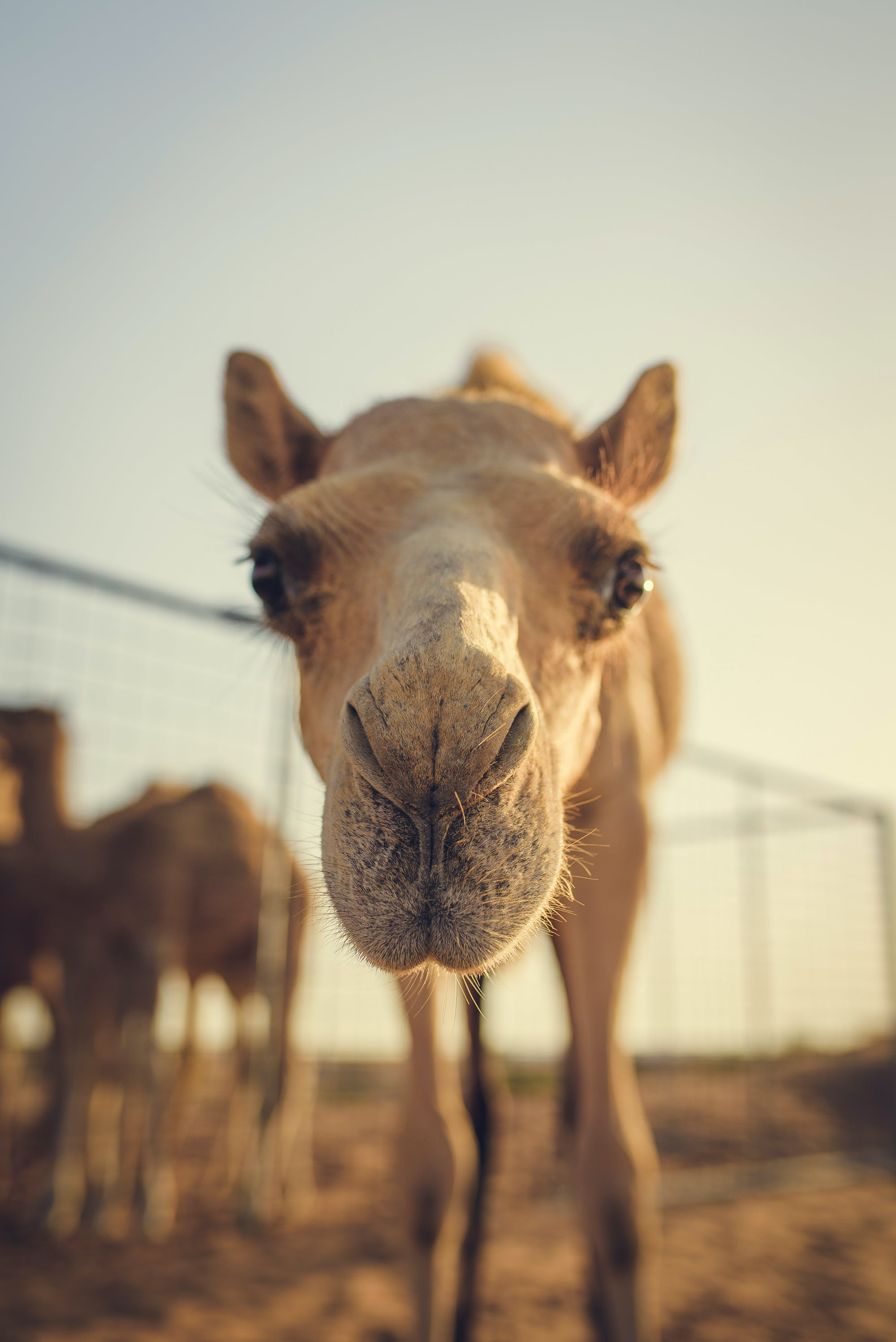 Brown Camel by Fence during Golden Hour
