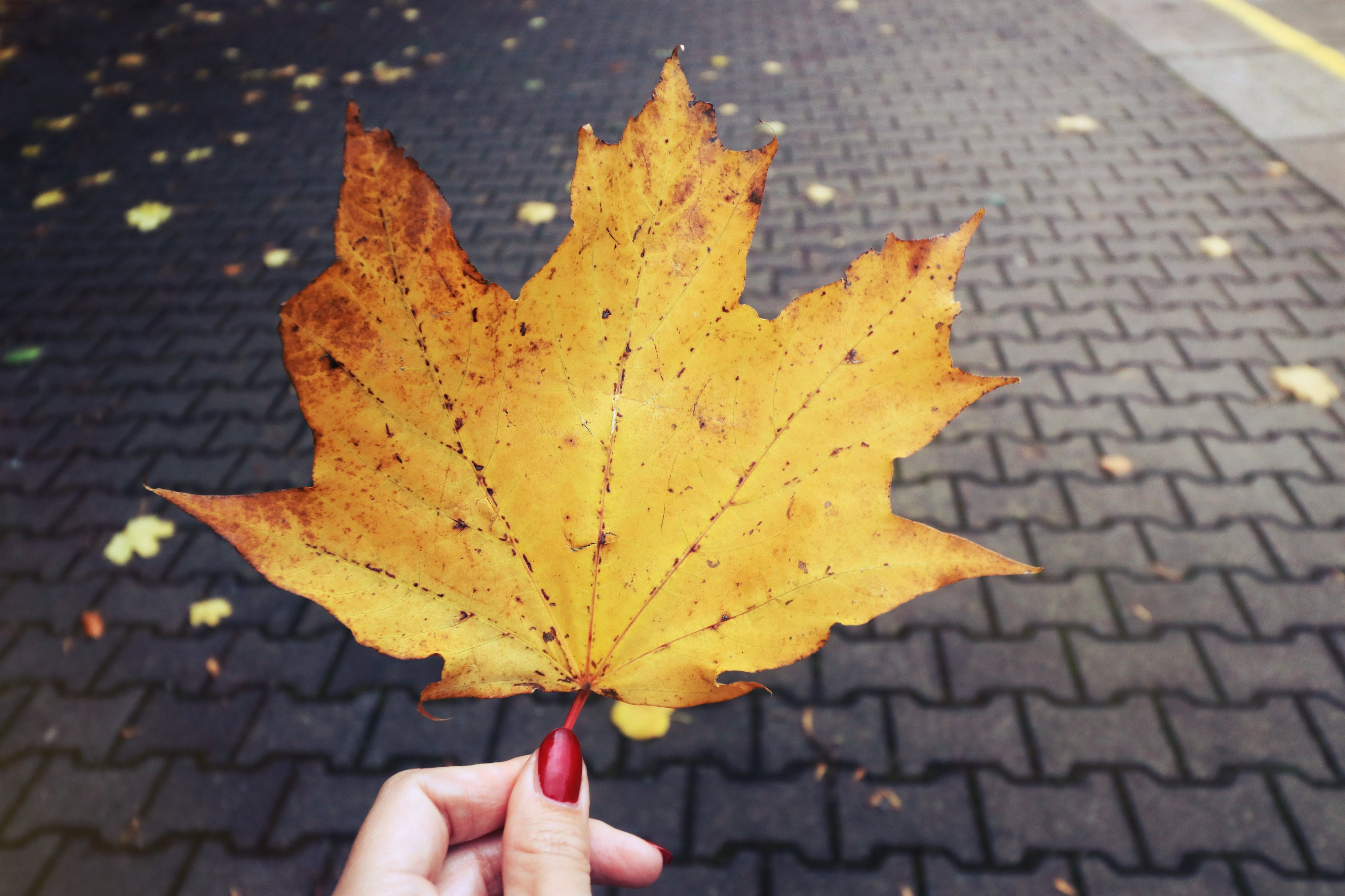 Free stock photo of autumn, fall, maple leaf, nature