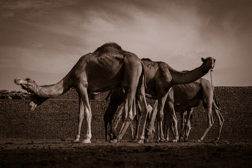 Free stock photo of black and white, camels, canon, egypt