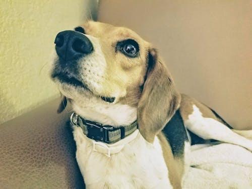 Gratis stockfoto met beagle, hond, huisdieren