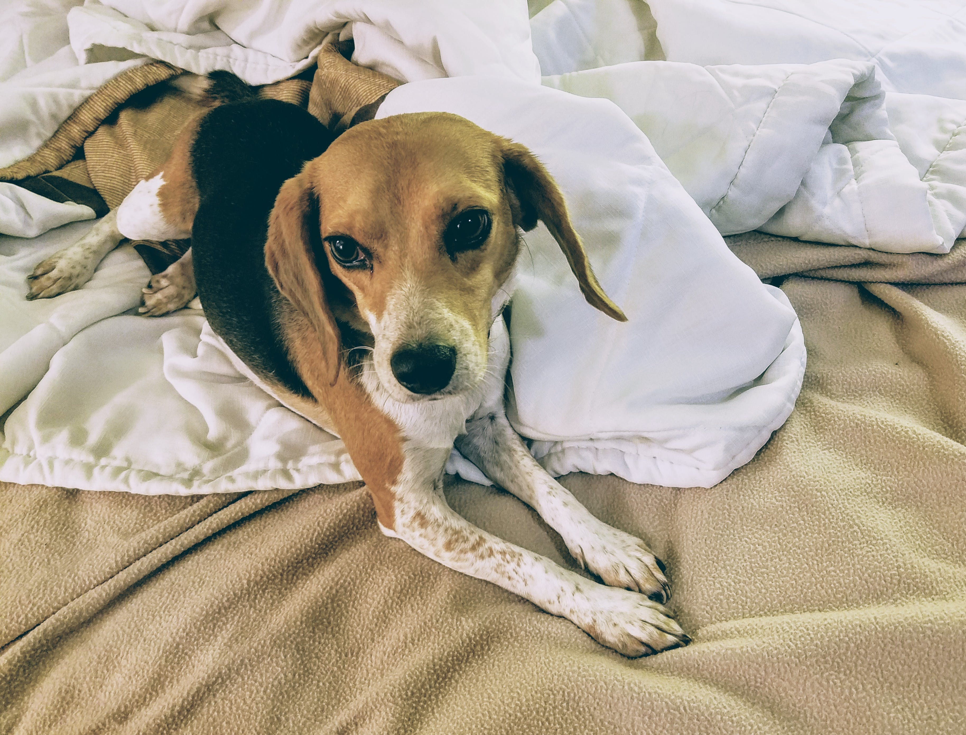 Gratis lagerfoto af beagle, hund, søde dyr