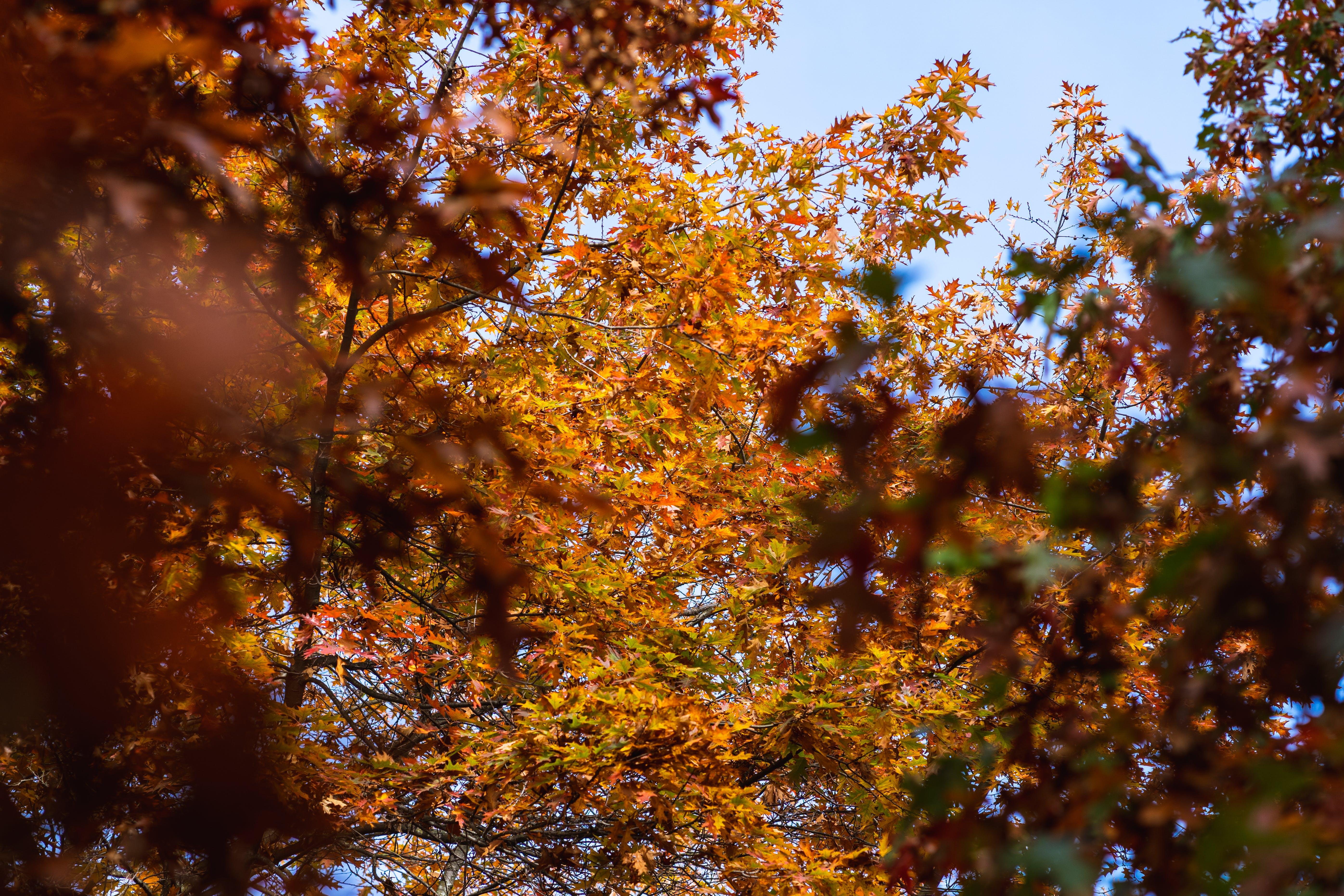 Free stock photo of autumn, fall, leaves, maple tree