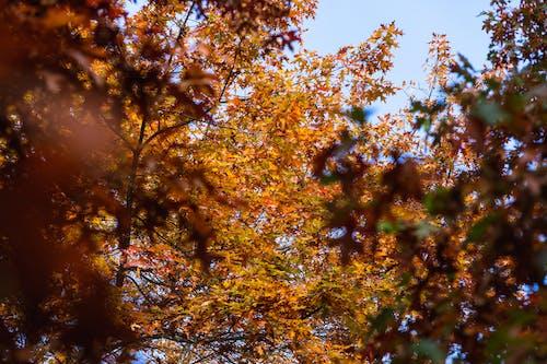 Бесплатное стоковое фото с желтый, клен, красный, природа