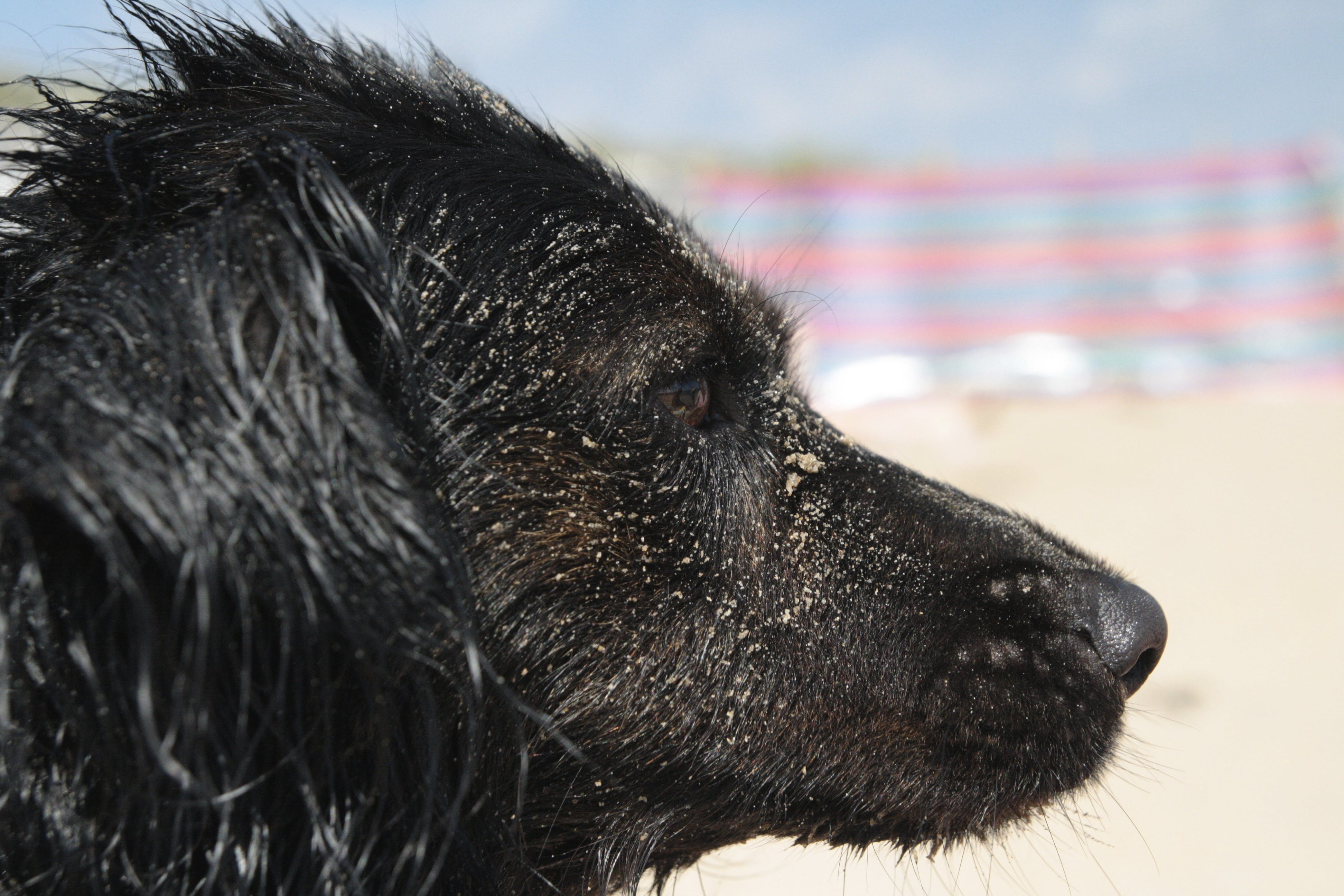 Free stock photo of beach, border collie, cute, cute animals