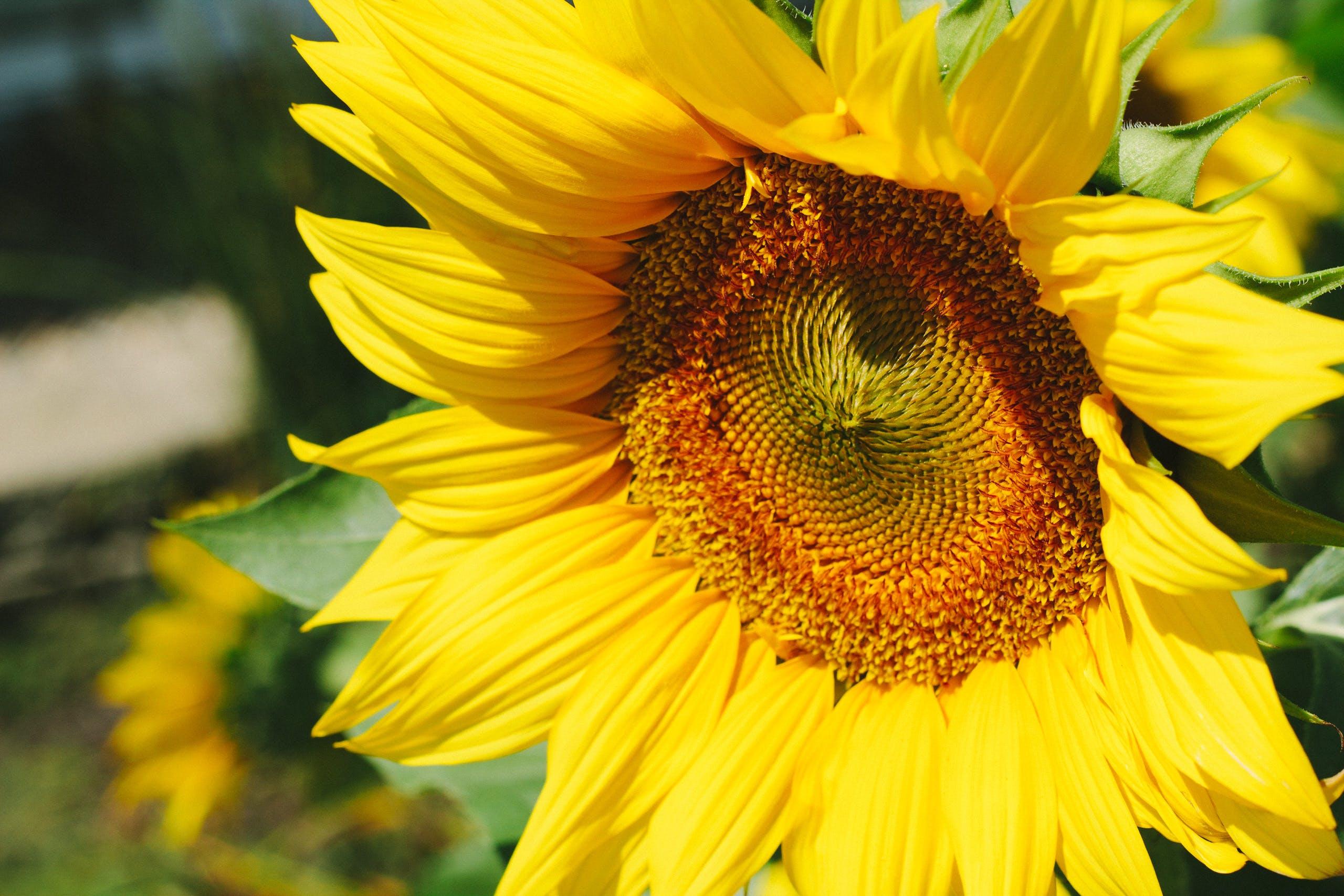Close Up Photo of Sunflower