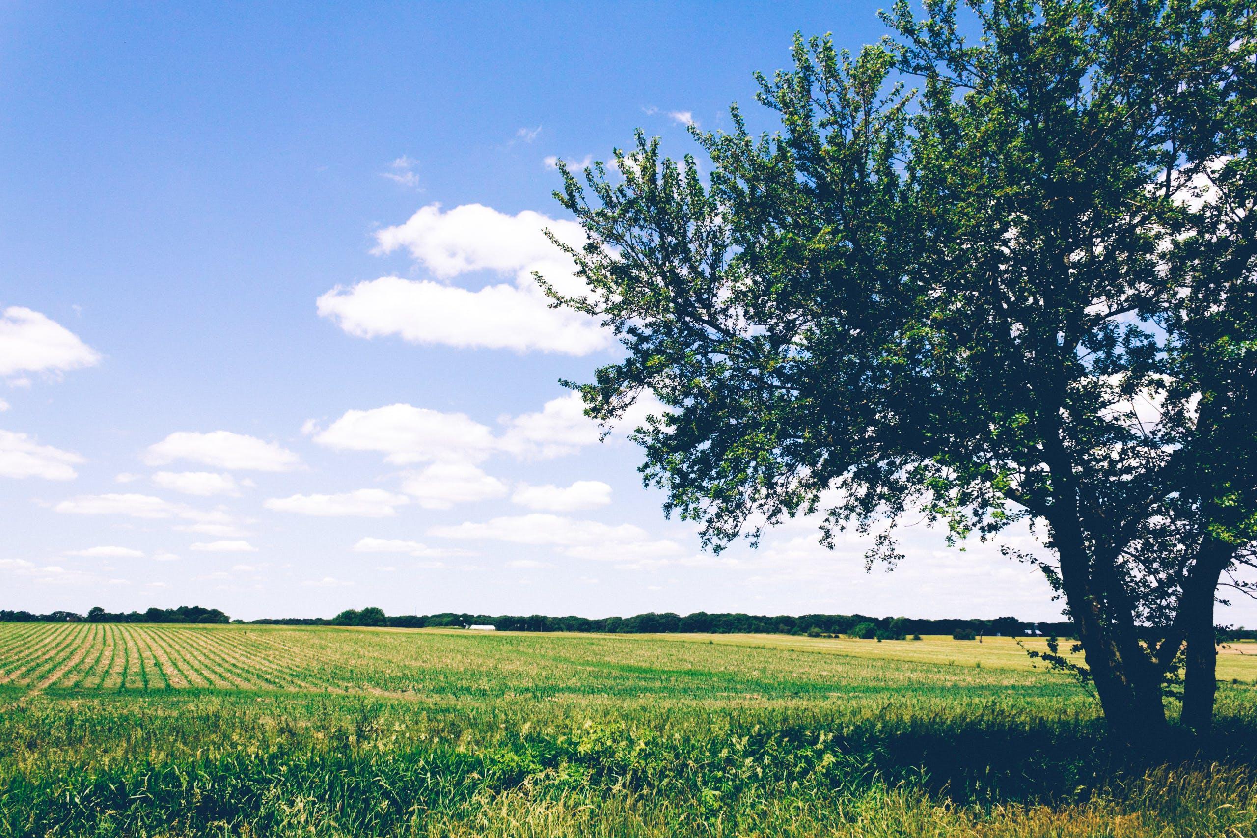 Green Leafed Tree Beside Open Field