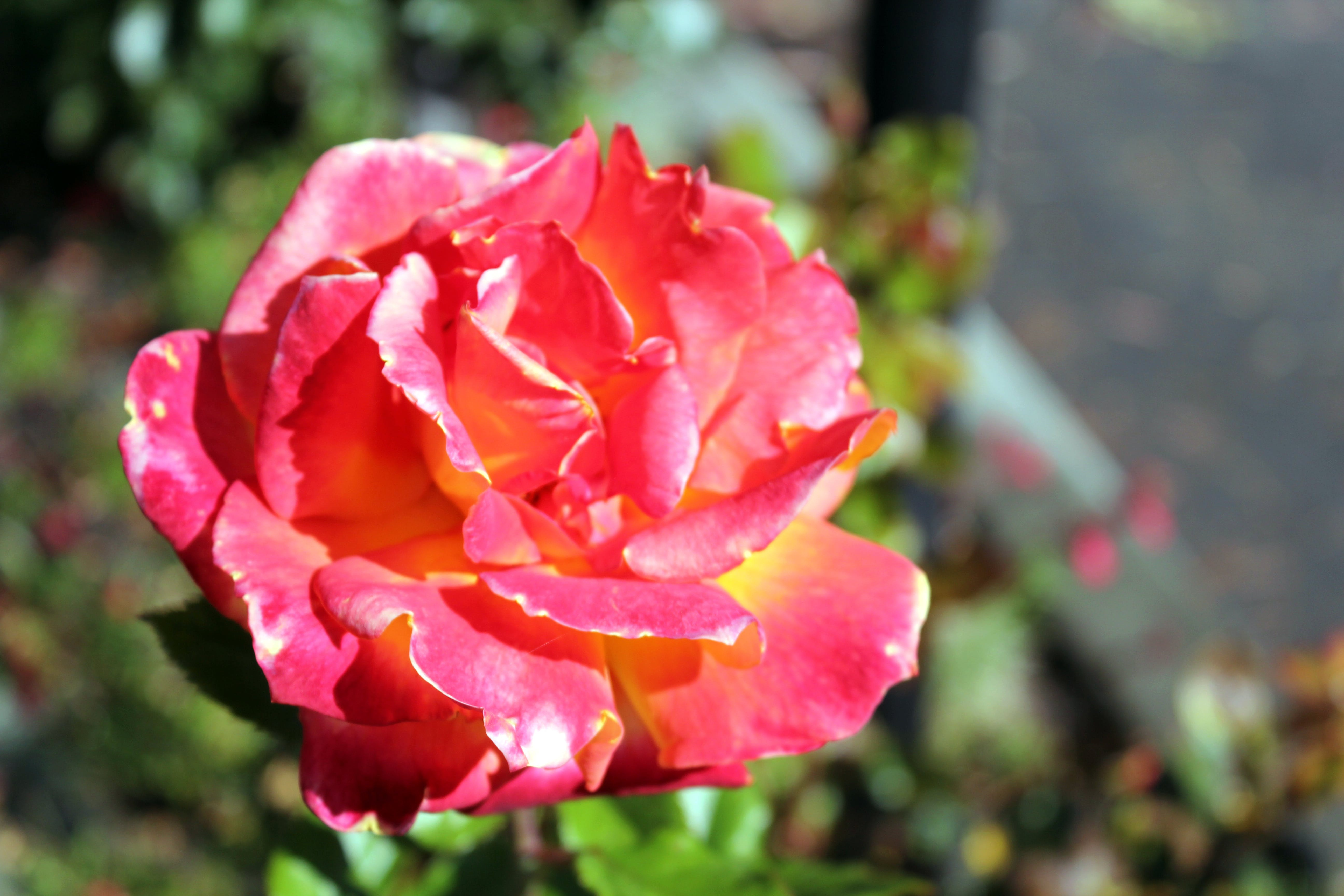 Free stock photo of Red Rose