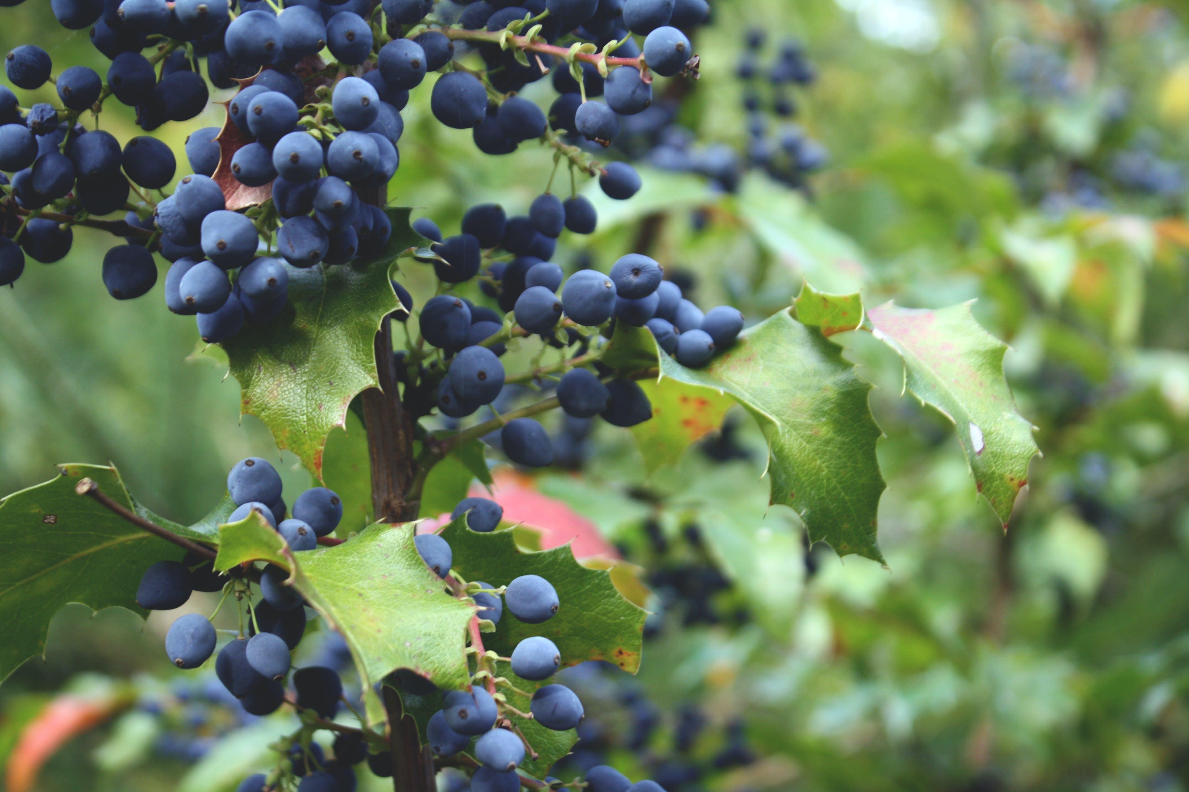 Free stock photo of blue, mountain, plant, blueberries