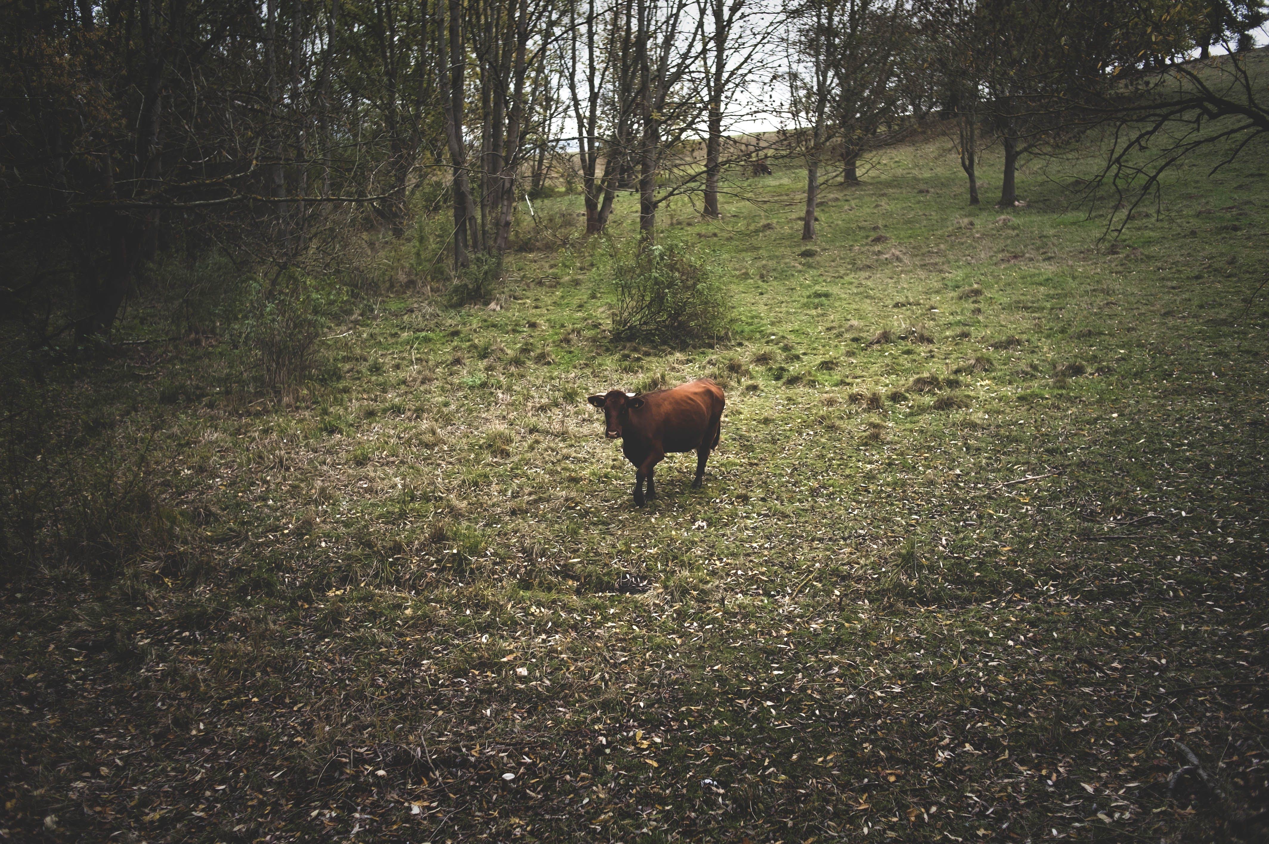 Kostenloses Stock Foto zu herbststimmung wald, kuh, leef, unscharfen hintergrund