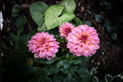 Foto d'estoc gratuïta de flor rosa, flors boniques