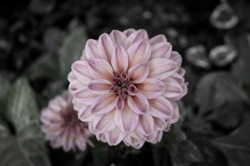 Foto d'estoc gratuïta de flor de primavera, flor de roser, flors boniques, natura