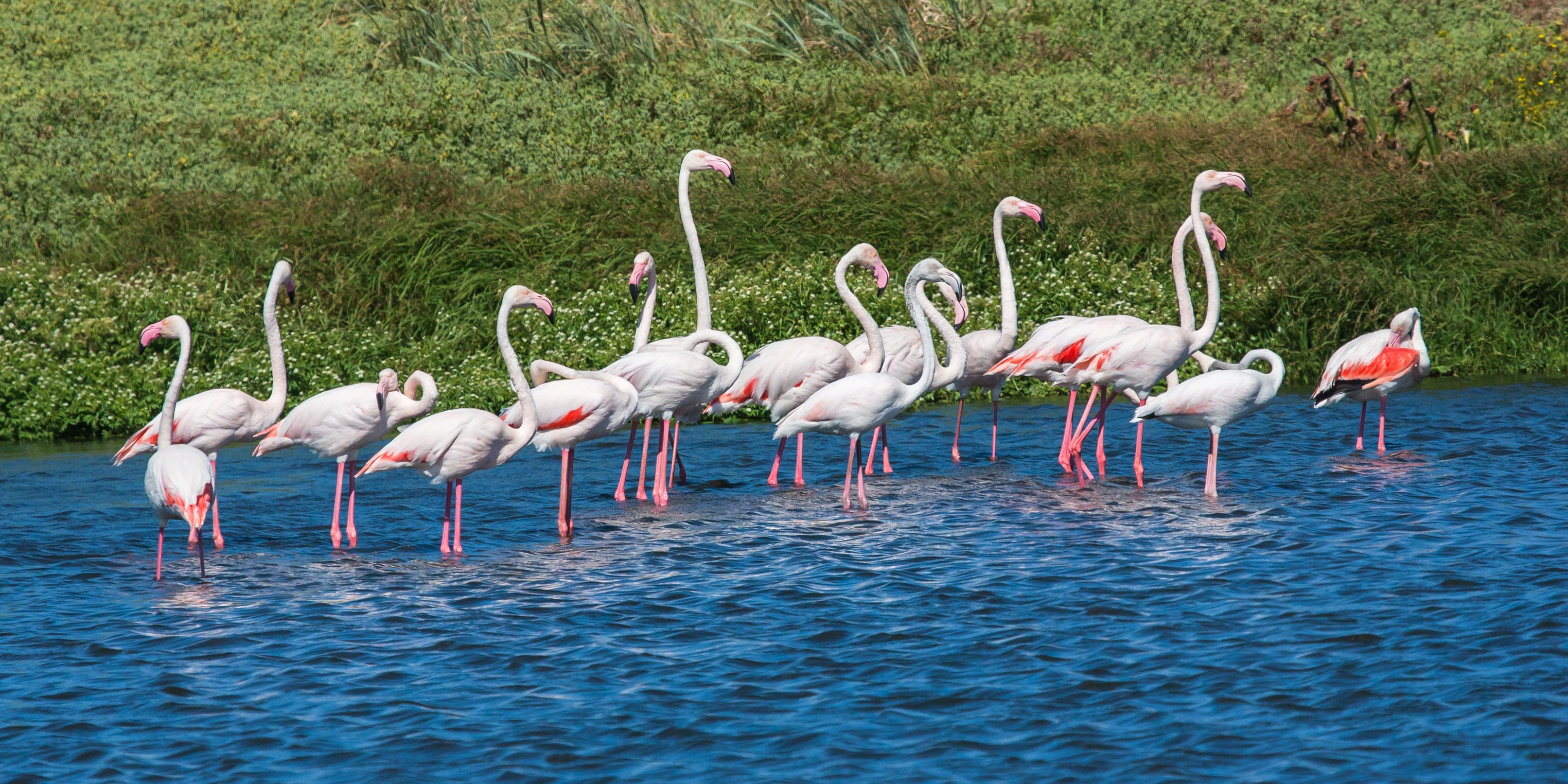 Flock of Flamingos in Body of Water