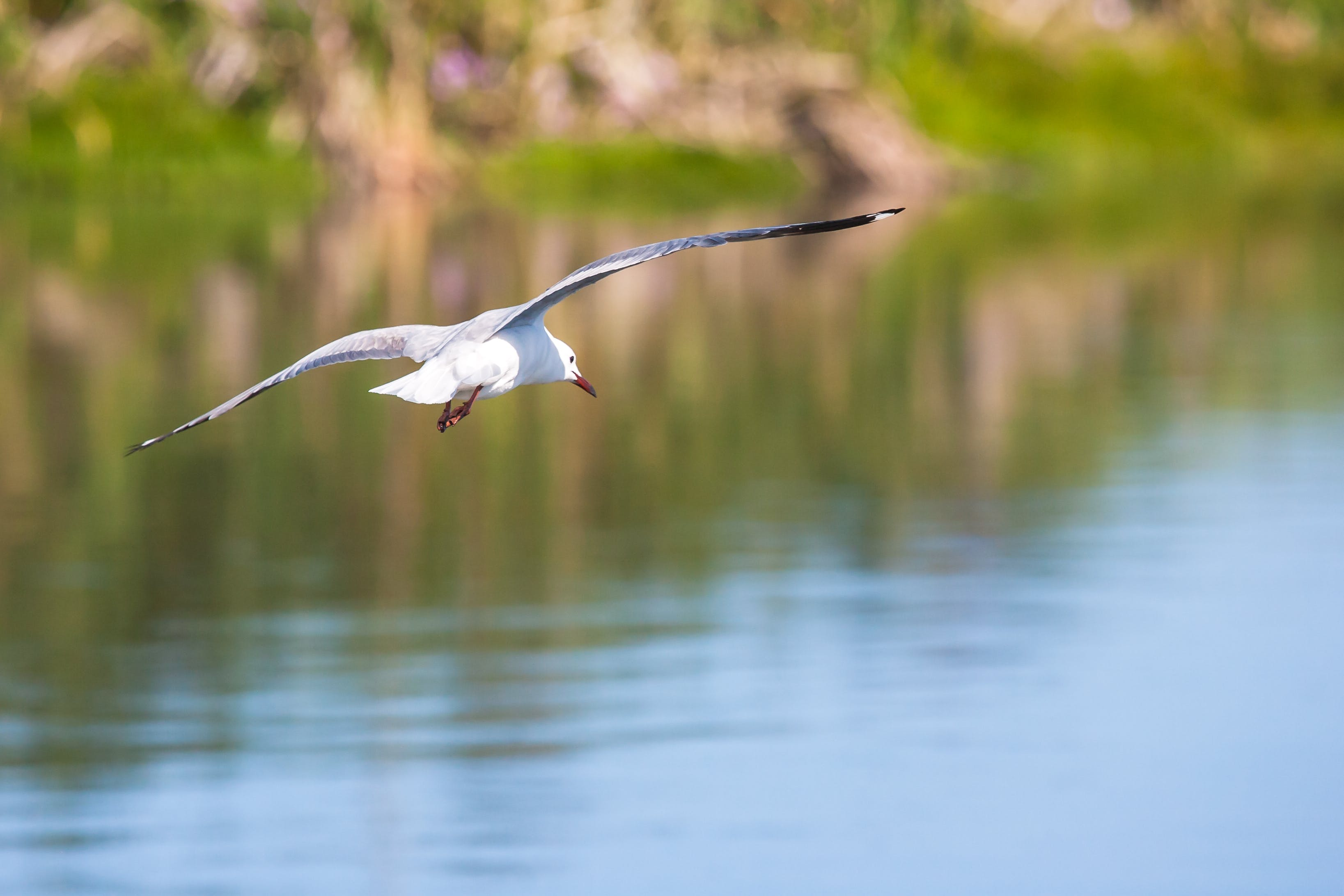 White Feathered Bird Flying Above Calm Body of Water