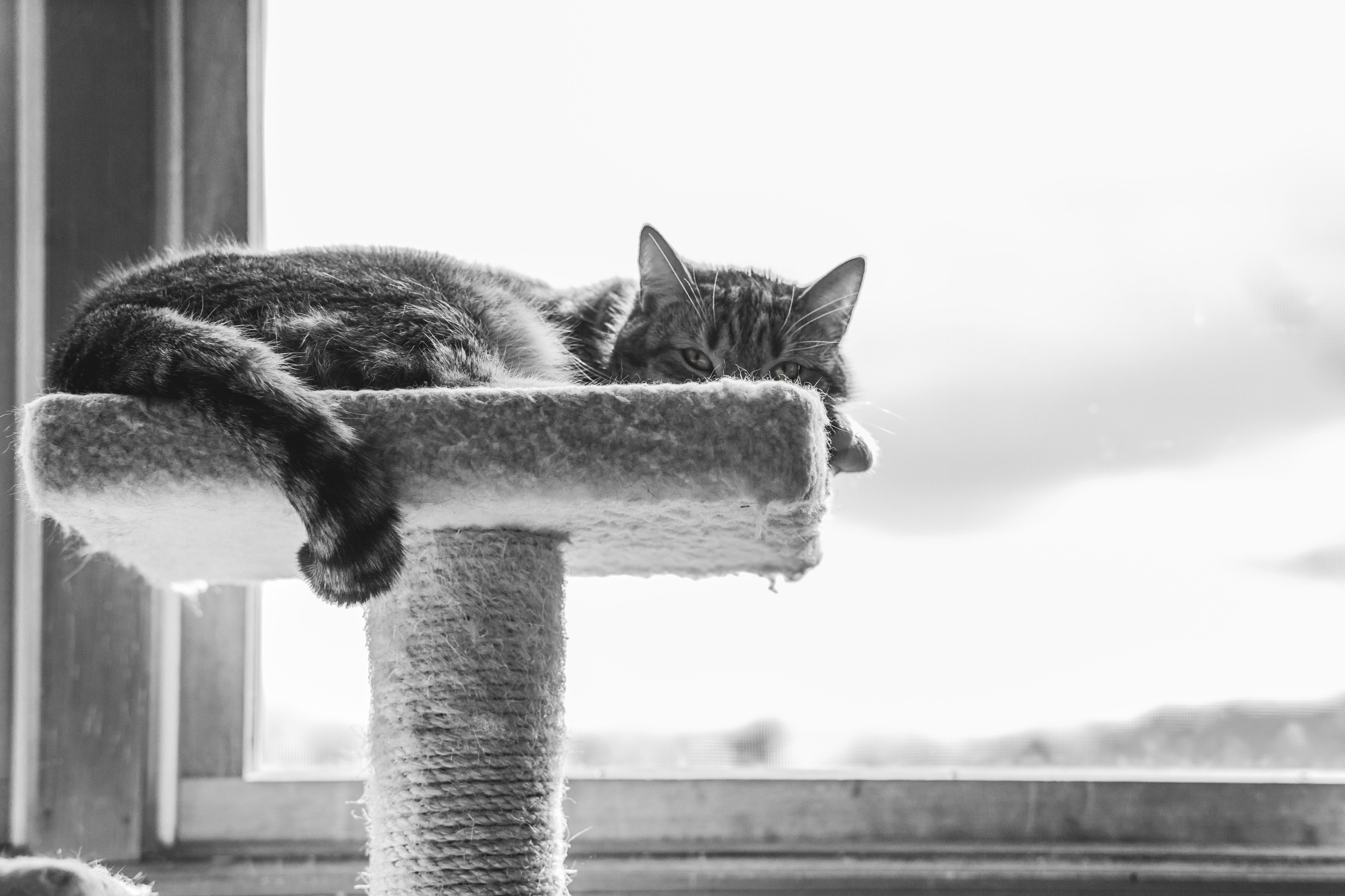 Grayscale Photography of Cat Lying on Cat Tree