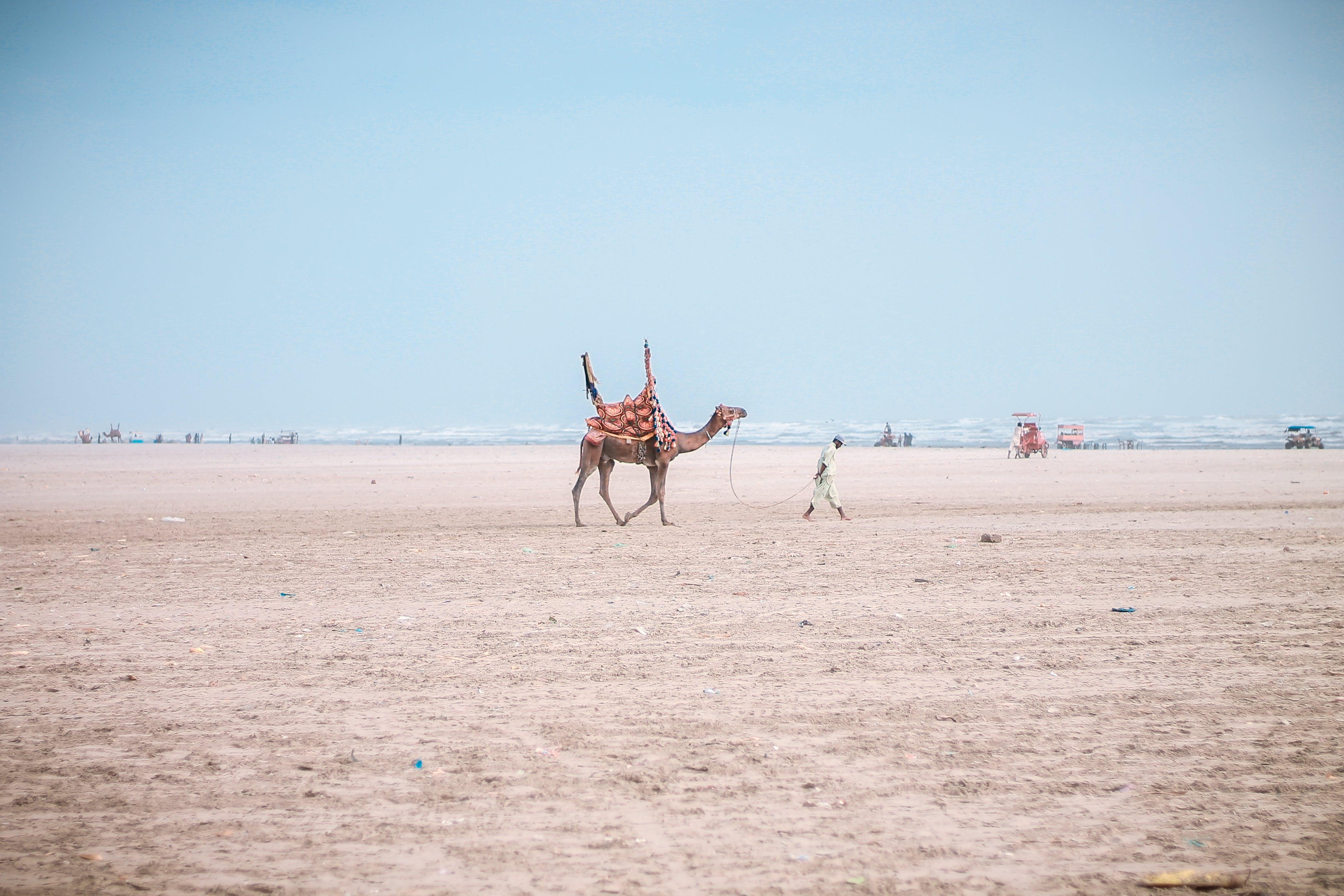 Brown Camel Following Man Under Blue Sky