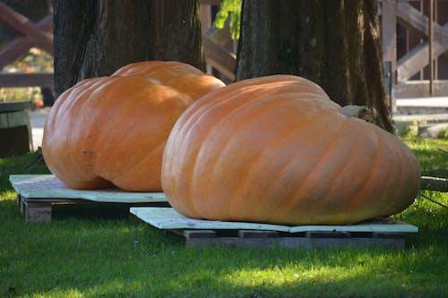 Free stock photo of pumpkin