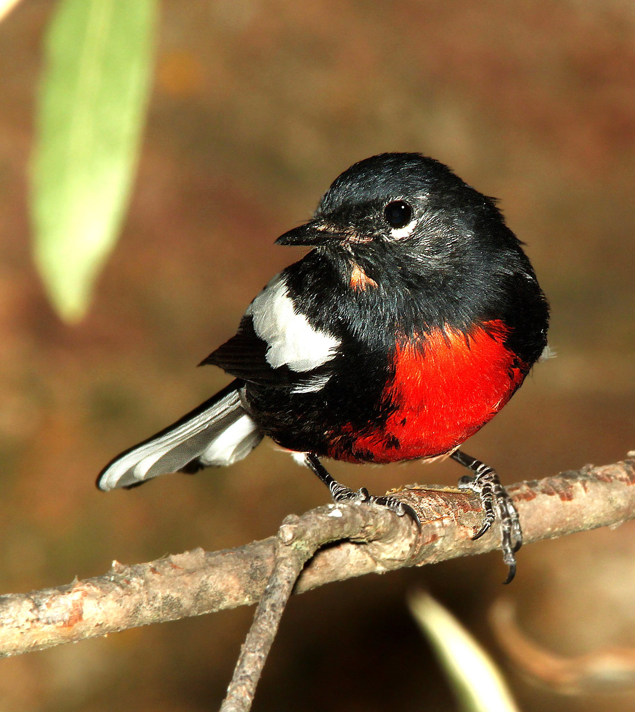 Black White Red Chested Bird Perched on Stem Closeup Photography during Daytime