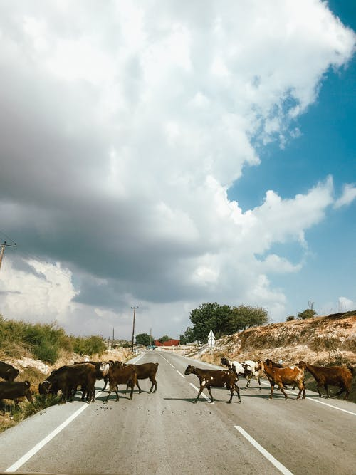 Photo of a Herd of Goats Crossing a Road